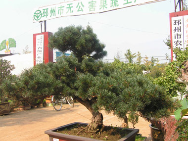 [点击放大]             产品名称 松树 品牌商标